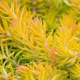 Sedum Rupestre, Angelina, Groundcover Alamy Stock Photo Brooklyn, NY