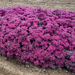 Superstar Sedum, Pink Flower Ground Cover, Sedum Plant Proven Winners Sycamore, IL