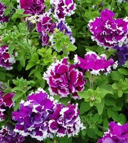Purple Petunia, Double Petunia All-America Selections Downers Grove, IL
