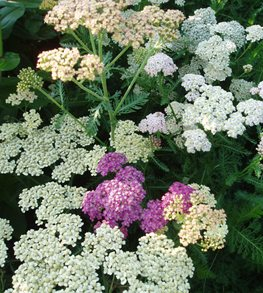 Summer Pastels, Achillea Plant All-America Selections Downers Grove, IL