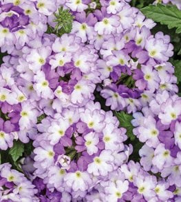 Superbena Sparkling Amethyst, Verbena, Purple And White Flowers Proven Winners Sycamore, IL