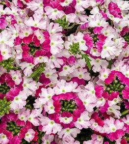 Superbena Sparkling Ruby, Pink And White Verbena Proven Winners Sycamore, IL