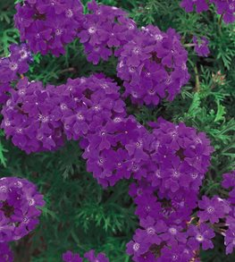 Tapien Blue Violet Verbena, Dark Purple Verbena, Purple Flowers Proven Winners Sycamore, IL