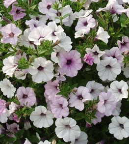 Tidal Wave, Silver Petunia All-America Selections Downers Grove, IL