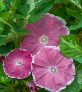 <em>Ipomoea nil</em> 'Yuuzuki' (Japanese morning glory) - Photo by: Rob Cardillo.