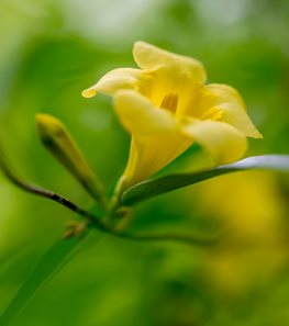 <em>Gelsemium sempervirens</em> (Carolina jessamine) - Photo by: Rob Cardillo.