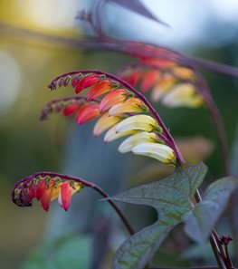 <em>Mina lobata/Ipomoea lobate</em> (Firecracker vine) - Photo by: Rob Cardillo.