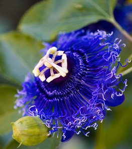 <em>Passiflora</em> 'Blue Eyed Susan' (Passion flower) - Photo by: Rob Cardillo.