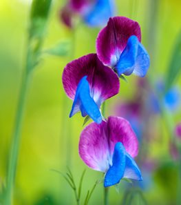 Sweet Pea flower - Photo by: Rob Cardillo.