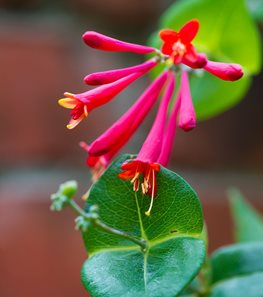 <em>Lonicera sempervirens</em> 'Major Wheeler' (Coral honeysuckle) - Photo by: Rob Cardillo.