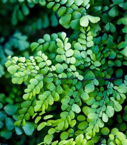 Adiantum venustum - Photo by: Claire Takacs.