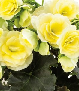 Glory Lemon Begonia