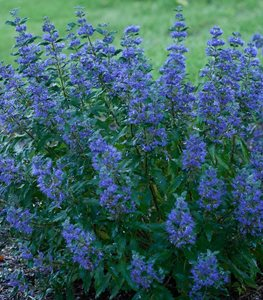 Beyond Midnight Bluebeard, Caryopteris Clandonensis, Blue Flowering Perennial Proven Winners Sycamore, IL
