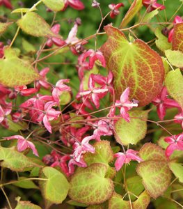 Bishop's Hat, Epimedium Hybrid, Ground Cover Plant Shutterstock.com New York, NY