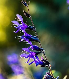 Salvia guaranitica 'Black and Blue' - Photo by: Claire Takacs.