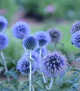 Blue Glow Globe Thistle, Echinops Ritro, Blue Globe Flower Proven Winners Sycamore, IL