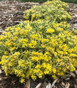 Boogie Woogie Sedum, Sedum, Yellow Flowered Ground Cover Proven Winners Sycamore, IL