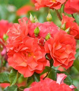 FLORIBUNDA  Các Loại Hoa Hồng Tốt Nhất Cho Khu Vườn Của Bạn cinco de mayo rose orange flower floribunda rose garden design 15271