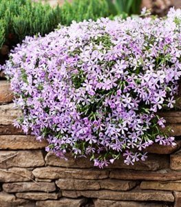 Creeping Phlox, Phlox Sublata, Ground Cover With Purple Flowers Shutterstock.com New York, NY
