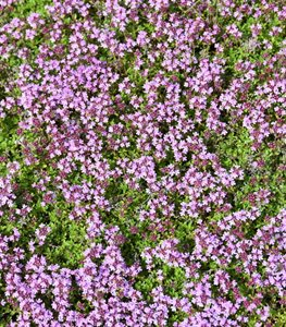 Creeping Thyme, Thymus Praecox, Purple Flowered Ground Cover  Shutterstock.com New York, NY
