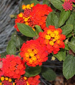 'Dallas Red' lantana
