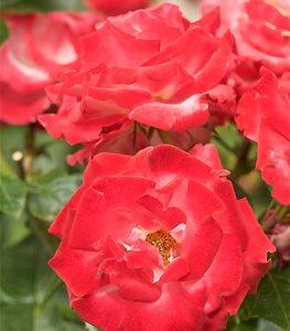 GRANDIFLORA  Các Loại Hoa Hồng Tốt Nhất Cho Khu Vườn Của Bạn dick clark rose grandiflora rose garden design 15270