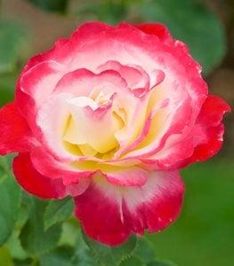 HYBRID TEA  Các Loại Hoa Hồng Tốt Nhất Cho Khu Vườn Của Bạn double delight rose red and white flower hybrid tea rose garden design 15269