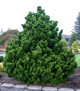 Chamaecyparis obtusa 'Nana Gracilis' (dwarf hinoki cypress) - Photo by: Iseli Nursery / Randall Smith Photography.