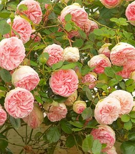 CLIMBERS (RAMBLERS)  Các Loại Hoa Hồng Tốt Nhất Cho Khu Vườn Của Bạn eden rose climbing rose rambling rose garden design 15273