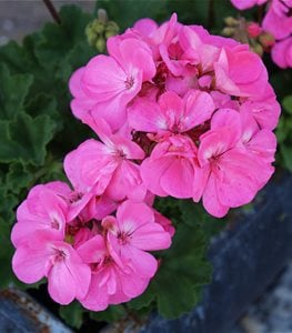 Geraniums (Pelargonium)