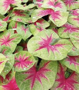 Caladium Lemon Blush