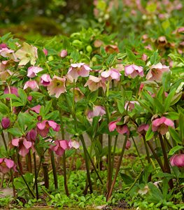 Helleborus x hybridus (hybrid Lenten rose) - Photo by: Janet Loughrey.
