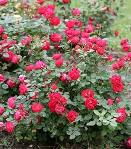 SHRUB  Các Loại Hoa Hồng Tốt Nhất Cho Khu Vườn Của Bạn oso easy double red rose landscape rose proven winners 15181