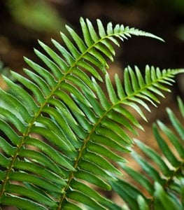 Polystichum munitum - Photo by: Claire Takacs.