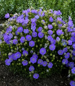 Rapido Blue Carpathian Bellflower, Campanula Carpatica, Blue Flowering Ground Cover Proven Winners Sycamore, IL