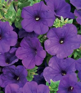 Supertunia® Royal Velvet®