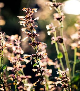 Agastache 'Summer Glow' - Photo by: Claire Takacs.