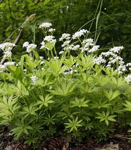 Sweet Woodruff, Galium Odoratum, Ground Cover Shutterstock.com New York, NY
