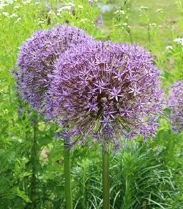 Ornamental Onions (Alliums)