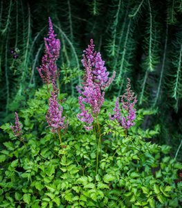 Astilbe Color Flash, Astilbe Foliage Millette Photomedia ,