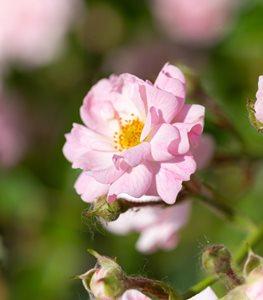 POLYANTHA  Các Loại Hoa Hồng Tốt Nhất Cho Khu Vườn Của Bạn the fairy rose polyantha rose pink rose shutterstock com 15267