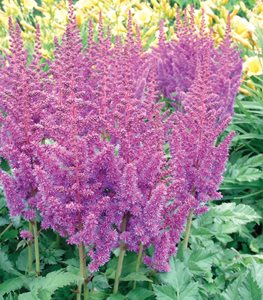 Astilbe Superba, Tall Shade Plant Millette Photomedia ,