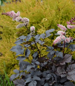 Dark Astilbe, Chocolate Astilbe Millette Photomedia ,