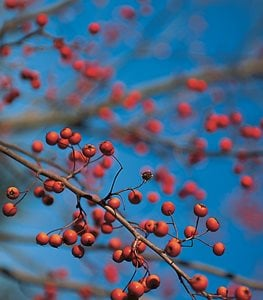Crataegus phaenopyrum - Photo by: Rob Cardillo.
