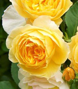 ENGLISH (DAVID AUSTIN)  Các Loại Hoa Hồng Tốt Nhất Cho Khu Vườn Của Bạn graham thomas rose english rose david austin rose garden design 15272
