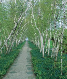 Birch trees - Photo by: Andrew Drake.