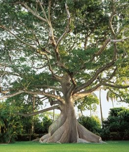 Kapok tree - Photo by: Richard Felber.