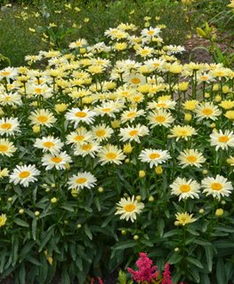 Amazing Daisies Banana Cream, Shasta Daisy, Yellow Flower, Leucanthemum Proven Winners Sycamore, IL
