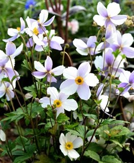 Anemone Wild Swan, White And Purple Flower Shutterstock.com New York, NY