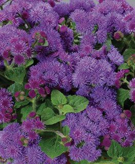 Artist Blue Floss Flower, Ageratum Hybrid, Purple-Blue Flower Proven Winners Sycamore, IL